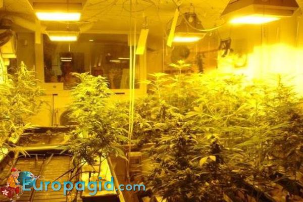 музей марихуаны в Амстердаме