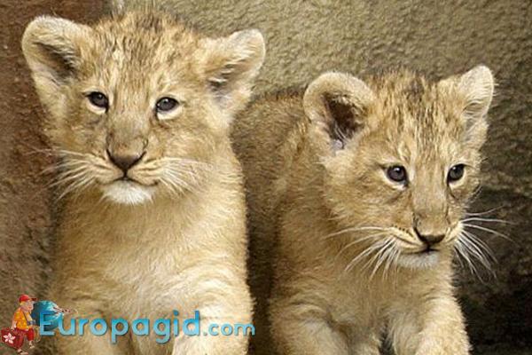Лондонский зоопарк львята